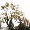 drevesa_grosuplje_5