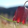 skljoc_grosuplje_kipi-tulipan